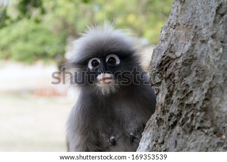 dusky leaf monkey of prachuab kirikan Thailand - stock photo