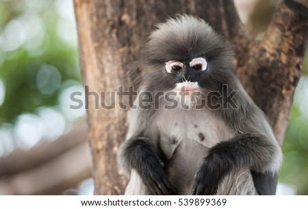 Dusky leaf monkey, Spectacled Langur in Thailand
