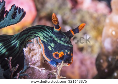 Dusky Nembrotha nudibranch crawling very slowly on sandy coral reef. - stock photo