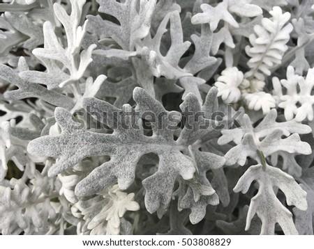 Dusty Miller Seeds - Cineraria Maritima Silverdust Flower Seeds