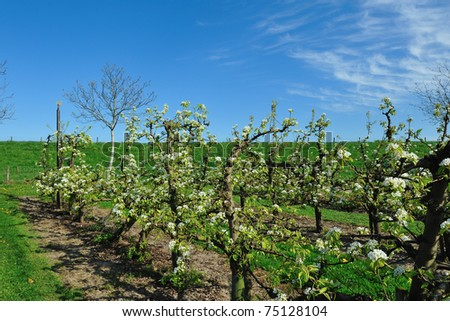 Dutch appel Orchard - stock photo