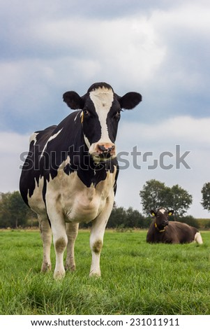 Dutch black and white cow in a grass meadow - stock photo