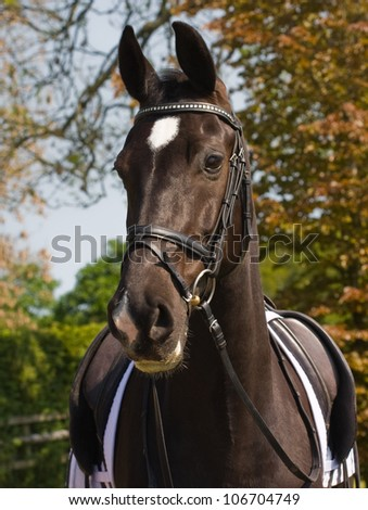 Dutch breed warm-blood dressage sport horse.