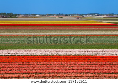 Dutch bulb field of colorful tulips near Lisse - stock photo