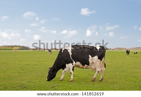Dutch cow in a typical Dutch setting - stock photo