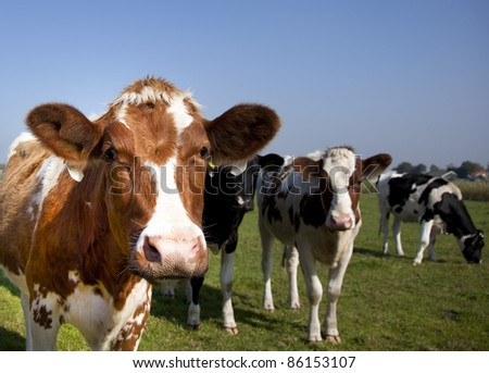 dutch cow in detail with blue sky - stock photo