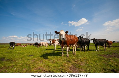 Dutch cows - stock photo