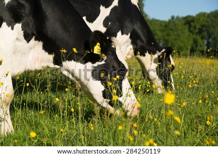 Dutch cows grazing in a buttercup flowers filled meadow in summer. - stock photo