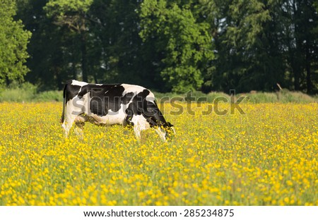 Dutch cows grazing in a meadow with yellow flowers. - stock photo