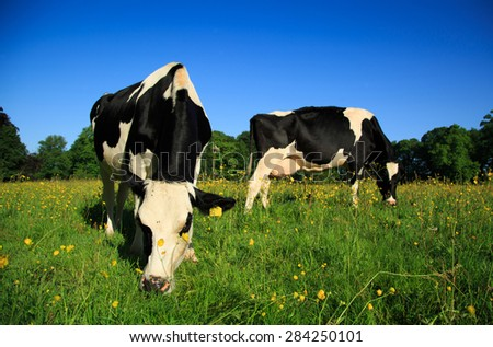 Dutch cows in a buttercup flowers filled meadow in springtime with trees in the background - stock photo