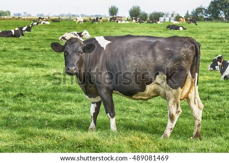 Dutch cows in a meadow