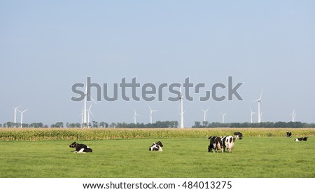 Dutch Cows in the meadows with windmill farm Westermeerdijk on the background, by Urk,Flevoland Netherlands September 2016