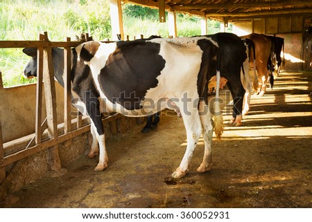 Dutch dairy cattle in Brazilian farm stable - stock photo