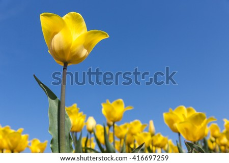 Dutch field with blooming yellow tulips and a blue sky. One tulip is isolated. - stock photo