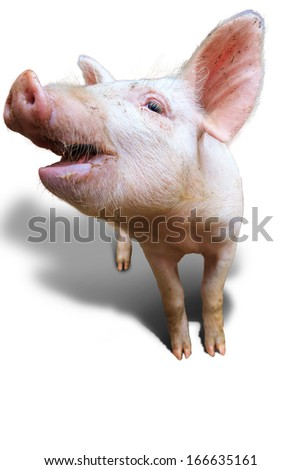 Dutch landrace, domestic pig (Sus scrofa domesticus), isolated on a white background - stock photo