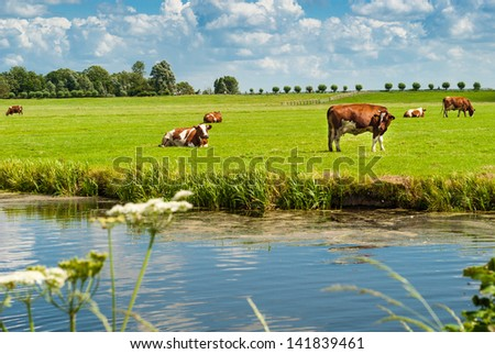 Dutch landscape: cows resting on a field