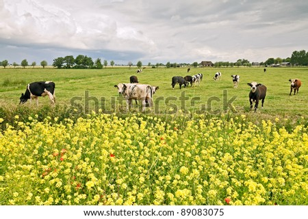 Dutch landscape with yellow flowers and cows under cloudy sky in spring. - stock photo