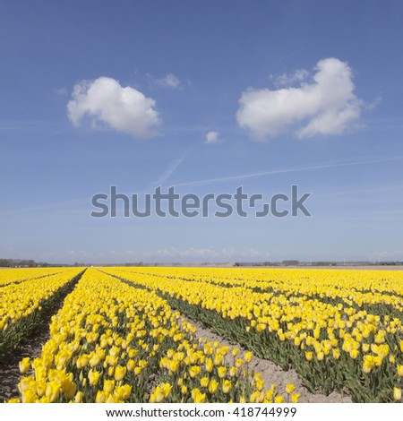 dutch landscape with yellow tulips in flower field plus blue sky and two clouds in noordoostpolder - stock photo