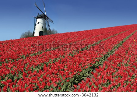 dutch mill behind a field full of red tulips - stock photo