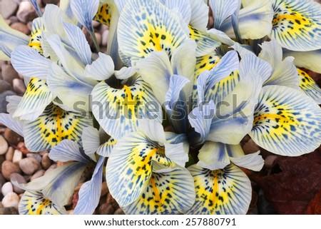 Dutch miniature light blue iris (Iris histrioides) - stock photo