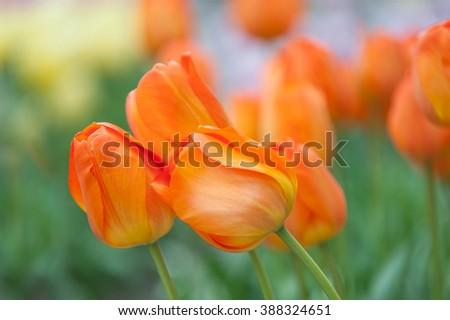 Dutch orange tulips close up. Selective focus. Photographed in Keukenhof botanic garden in April, 2015 - stock photo