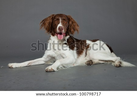 Dutch Partridge Dog isolated on grey background. Studio portrait.