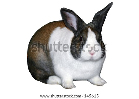 Dutch rabbit sitting with ears up. White background. - stock photo