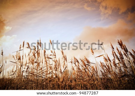Dutch reed - stock photo