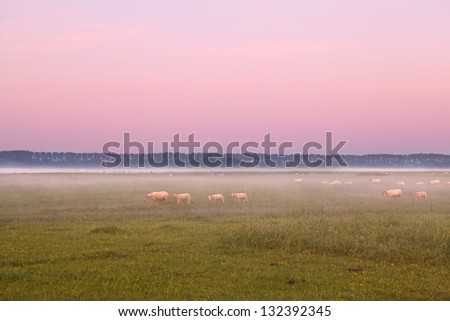 Dutch sheep in fog on pasture at sunrise - stock photo