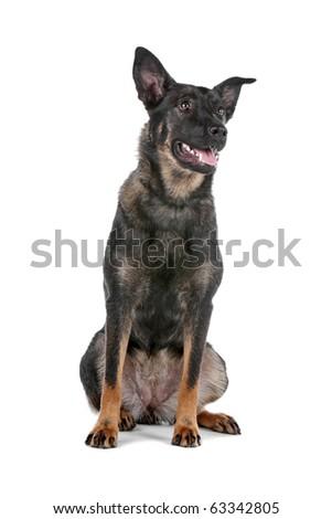 Dutch shepherd dog sitting isolated on a white background - stock photo