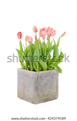 Dutch spring tulips in garden pot, isolated on white - stock photo