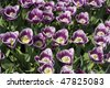 Dutch tulips during spring - stock photo