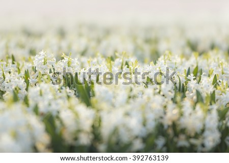 Dutch white Hyacinth flowers in a flower field in the Netherlands blooming in sunlight - stock photo