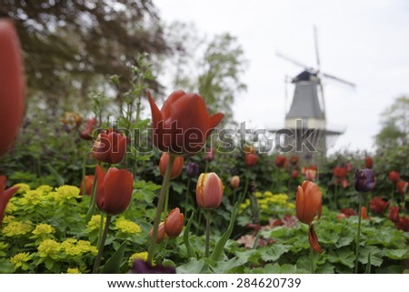 dutch windmill over rows of tulips field , Holland - stock photo