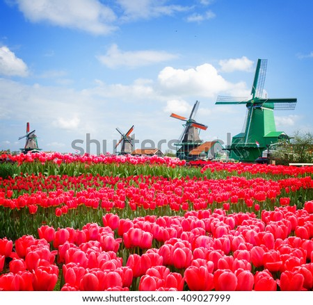dutch windmills over canal and growing  rows of  pink tulips, Holland, toned - stock photo