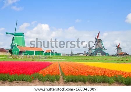 dutch windmills over tulip flower  fields in sunny day, Holland