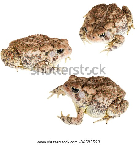 Dwarf American Toad (Anaxyrus americanus charlesmithi) - stock photo