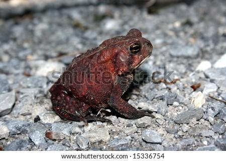 Dwarf American Toad (Bufo americanus charlesmithi) - stock photo
