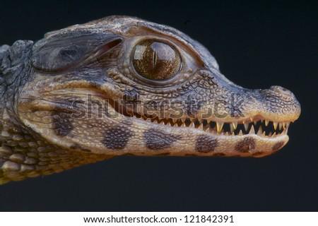 Dwarf Caiman / Paleosuchus palpebrosus - stock photo