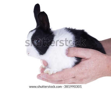 Dwarf Dutch rabbit sitting on their hands. Isolated on white background