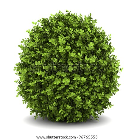 dwarf english boxwood  isolated on white background - stock photo