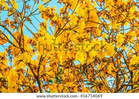 Dwarf Golden Trumpet flower in Thai, Thailand - stock photo