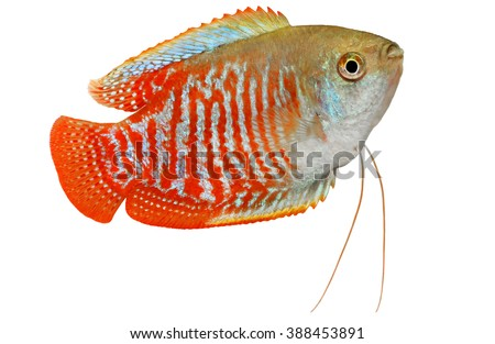 Dwarf gourami Trichogaster lalius tropical aquarium fish