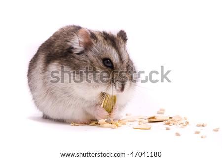 Dwarf hamster eating pumpkin seed - stock photo