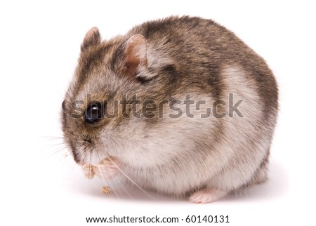 Dwarf hamster eating pumpkin seed
