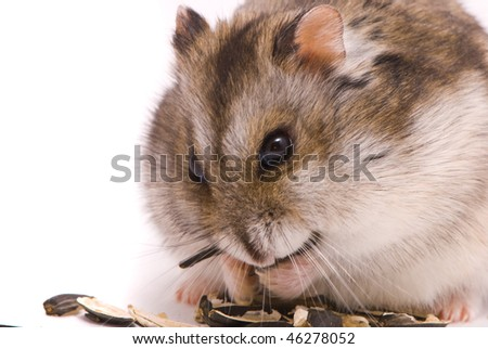 Dwarf hamster eating sunflower seed