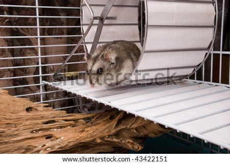 Dwarf hamster in a wheel - stock photo