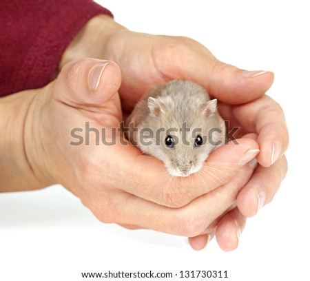 Dwarf Hamster Sat in a Pair of Hands