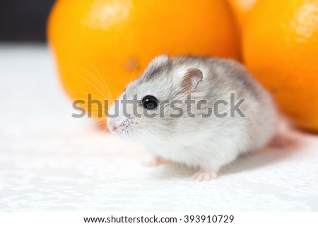 Dwarf hamster with orange oranges on the table - stock photo