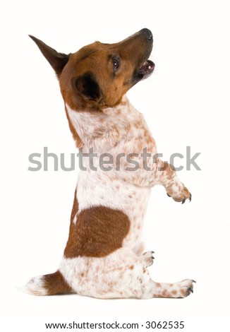 Dwarf Jack Russell Terrier sitting on his rump. - stock photo